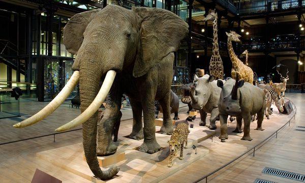 Grande Galerie de l'Évolution - Caravane africaine © MNHN - Patrick Lafaite
