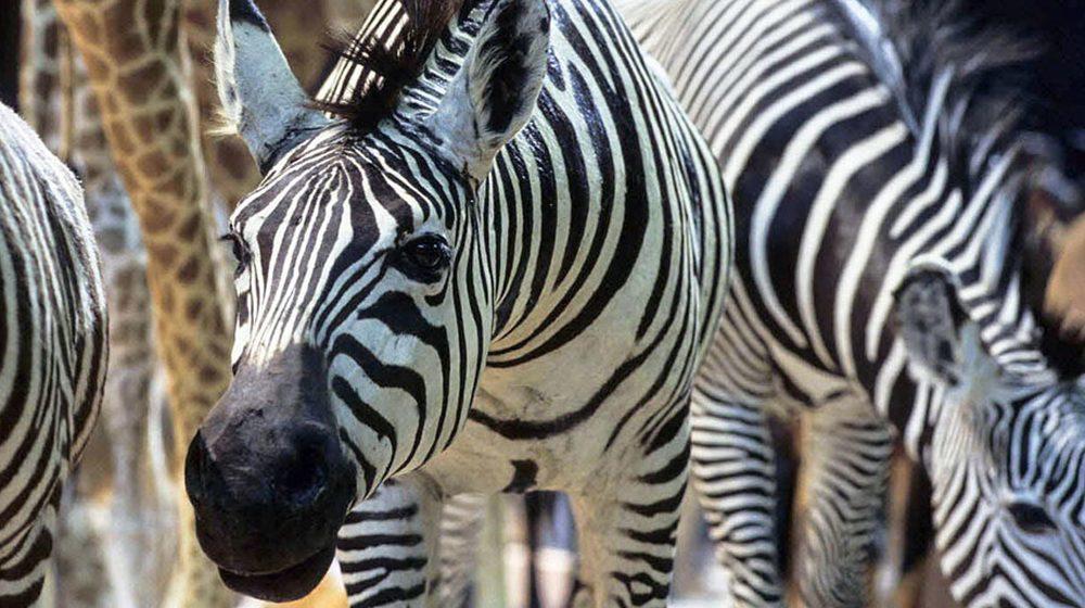 Grande Galerie de l'Evolution - Zèbres de la savane africaine © MNHN - Laurent Bessol