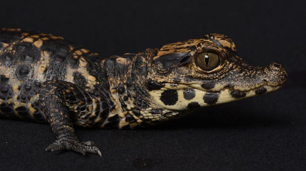 Crocodile nain d'Afrique © Aquarium Tropical du Palais de la Porte Dorée