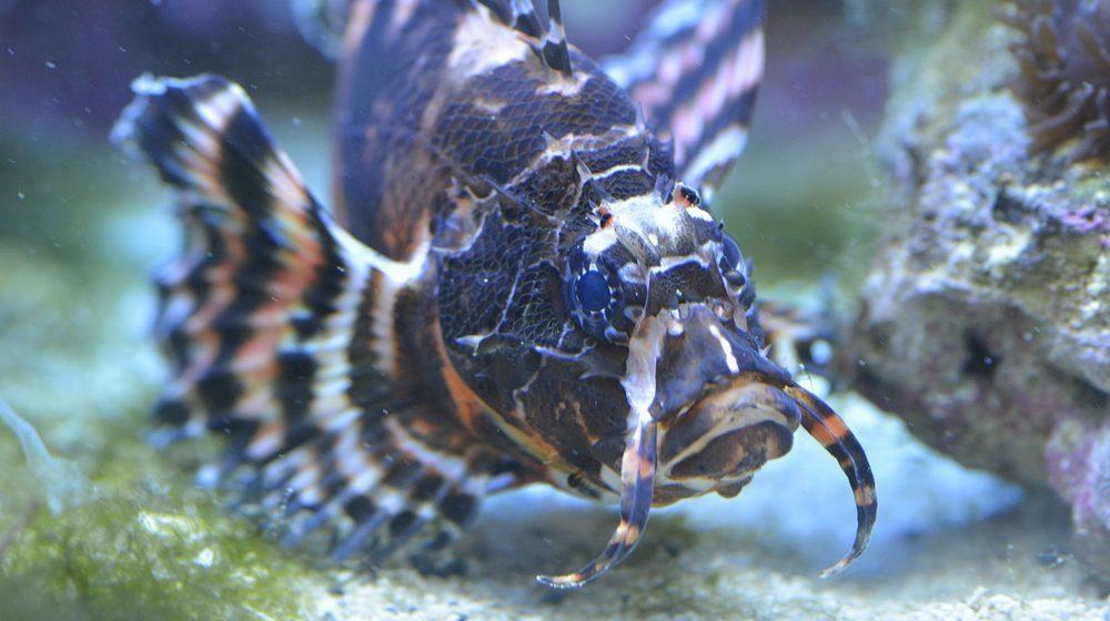 Rascasse volante ocellée © Aquarium Tropical du Palais de la Porte Dorée