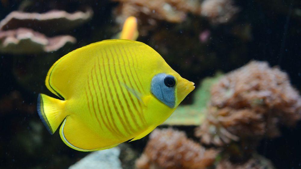 Poisson-papillon jaune © Aquarium Tropical du Palais de la Porte Dorée
