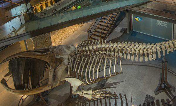Grande Galerie de l'Evolution - Squelette de Baleine et la Caravane